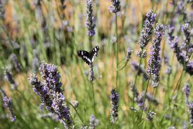 Lavender in Split, Croatia