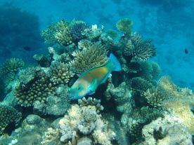 A rainbow parrotfish
