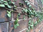 Ivy creeping on brick