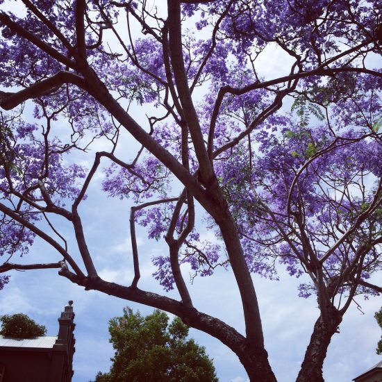 Jacaranda: the gem of Australian summer