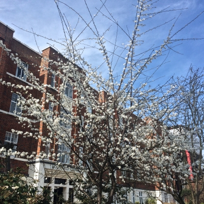 Beautiful spring buds in Belsize