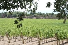 Poggio Antico's gorgeous vines