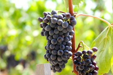 Sangiovese nearly ready for picking